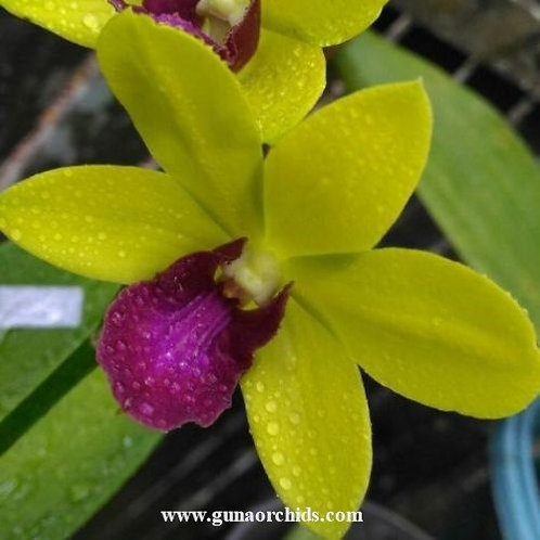 Dendrobium Give By God Yellow Red Lip MS