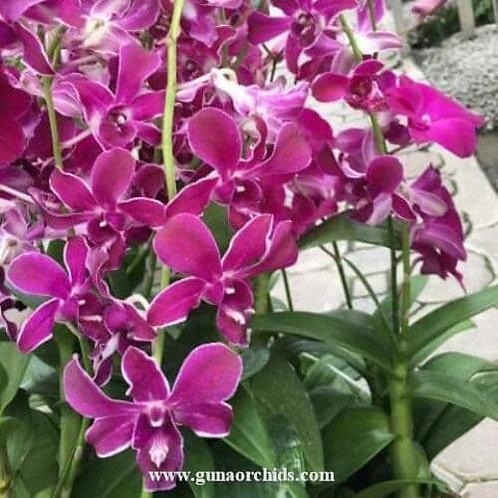 Dendrobium Hiroshi Blue MS