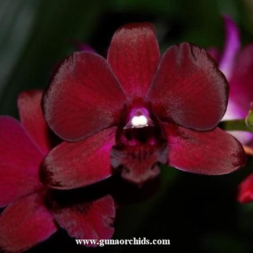 Dendrobium Burana Sundea x Balck Cat MS
