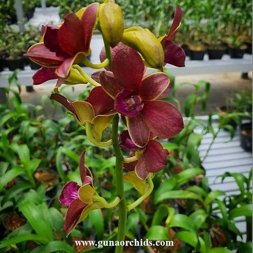 Dendrobium Thongchai Gold x Sampran Brown MS