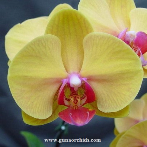 Phalaenopsis Ox Golden Sands BS
