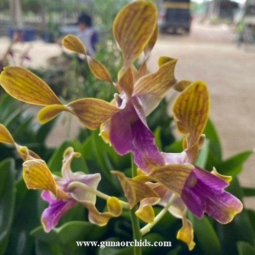 Dendrobium Antelope Lasianthera x Minnie Tangerinum