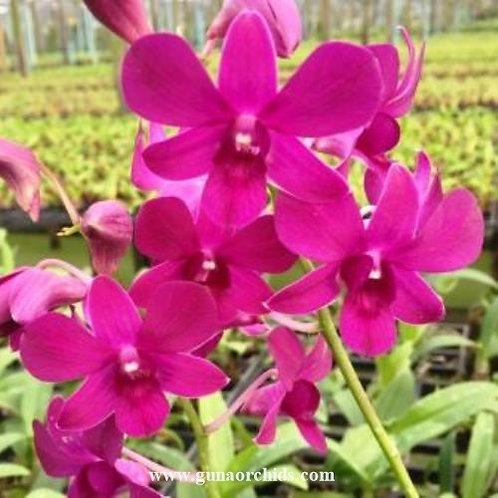 Dendrobium Fairtwist Lasinthera MS