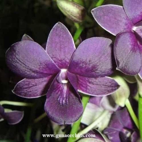Dendrobium TG Blue BS