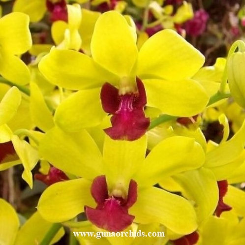 Dendrobium Thongcahi Ancheng MS