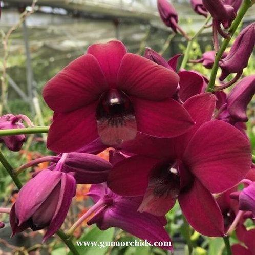 Dendrobium Panama Red MS