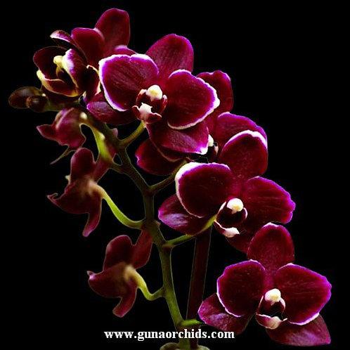 Phalaenopsis Fuller's Red Peoker BS