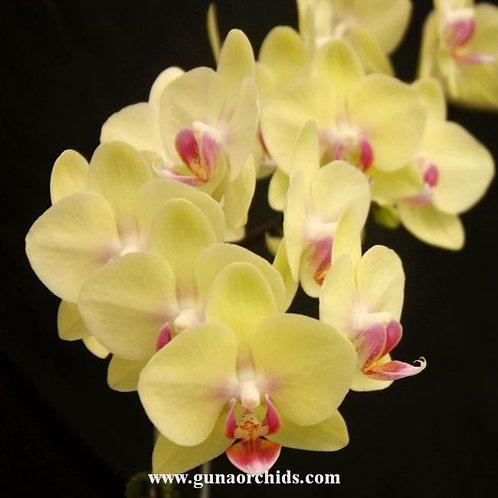 Phalaenopsis Charming Green Sugar Candy BS