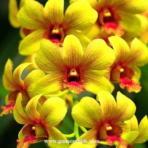Dendrobium Thongchai Viroj MS