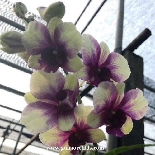 Dendrobium Anucha Flare x Burana Green MS