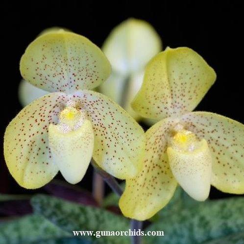 Paphiopedilum Concolor BS