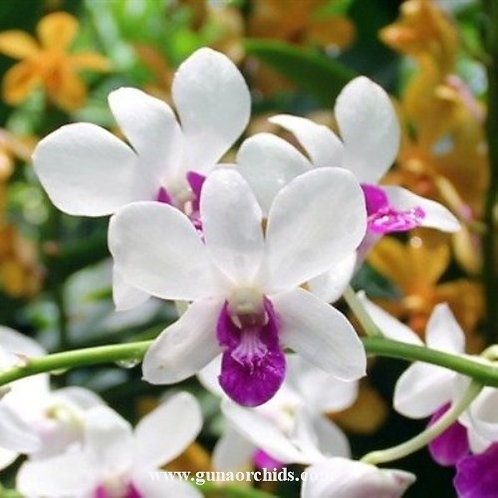 Dendrobium Burana Charming MS