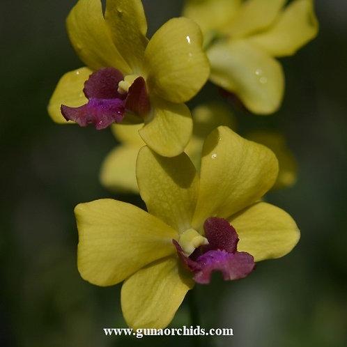 Dendrobium Koayai Gold MS