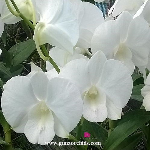 Dendrobium White Diamond MS