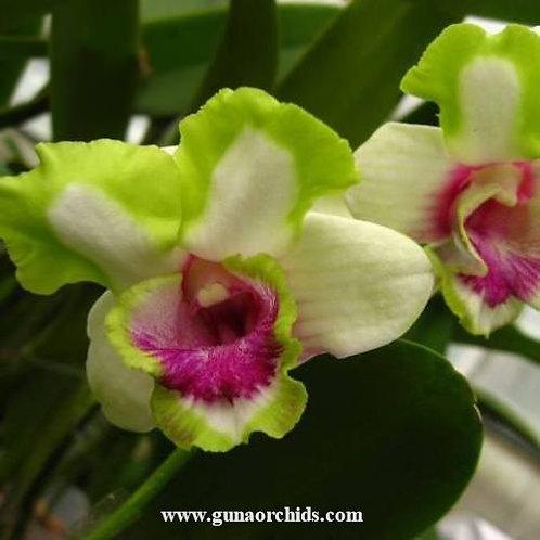 Dendrobium Star Bright MS