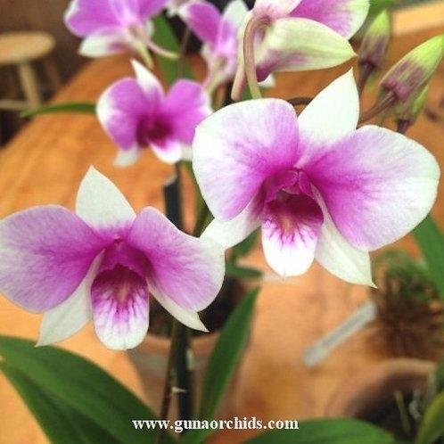 Dendrobium Sophie Bonnie MS