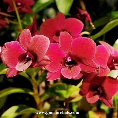 Dendrobium Regina Beauty MS