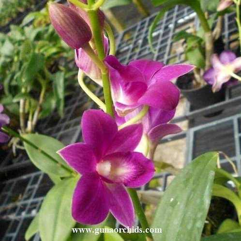 Dendrobium Inthuvong x Trudy Brandt MS