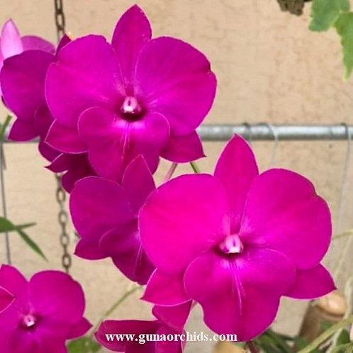 Dendrobium Tubtim Classic MS