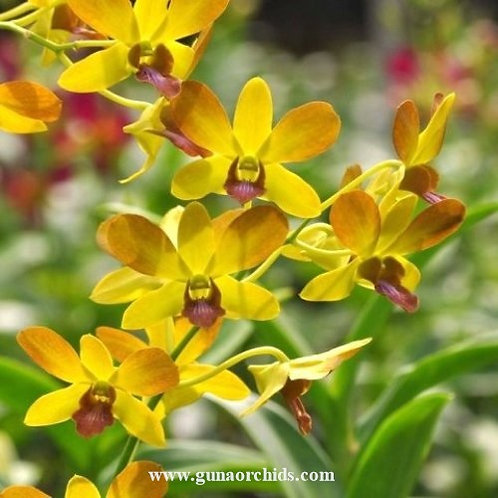 Dendrobium Give By God Mutation MS