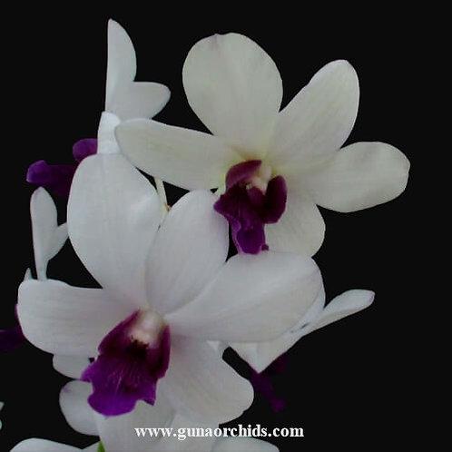 Dendrobium White Blue Lip MS