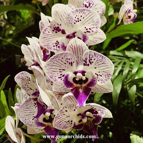 Phalaenopsis Lianher Happy Pearl BS