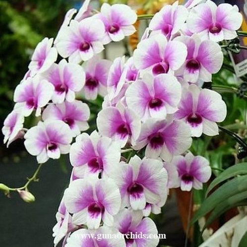 Dendrobium Two Tone Zane MS