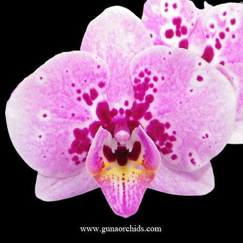 Phalaenopsis Fuller's Clown BS