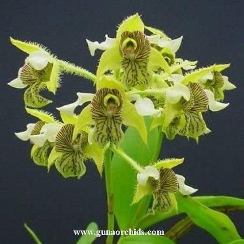 Dendrobium Macrophyllum BS