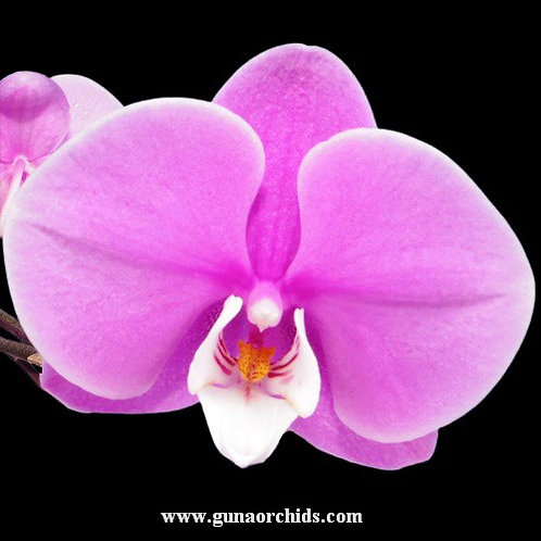 Phalaenopsis Jincheng Lover White Lip × Little Gem Stripes BS