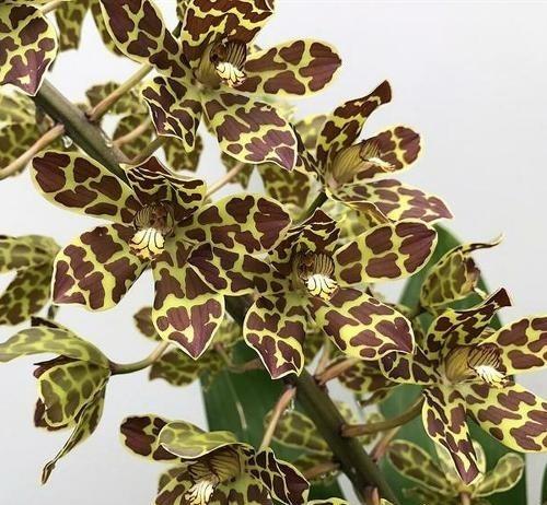 grammatophyllum orchid care india