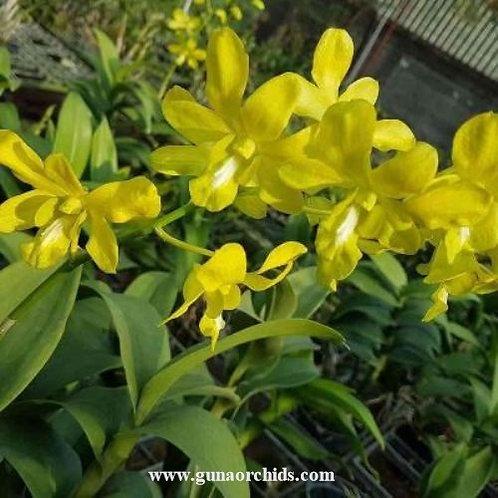 Dendrobium Yellow White Lip MS