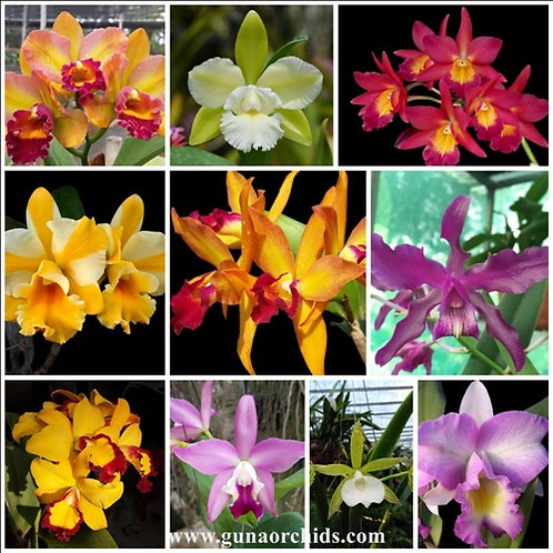 Exotic Cattleya SS 10 Pack Combo