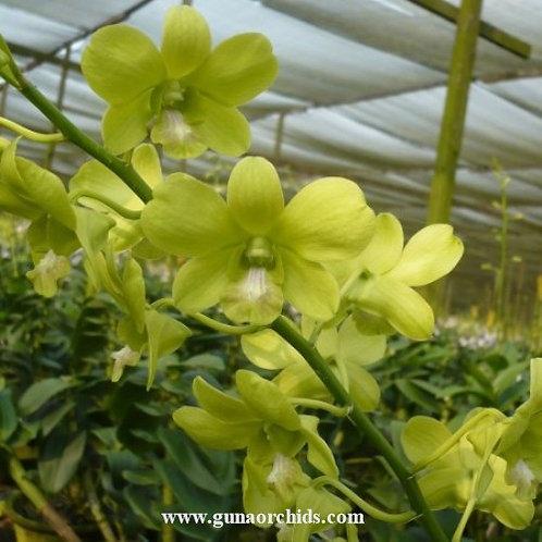 Dendrobium Lemon Green MS