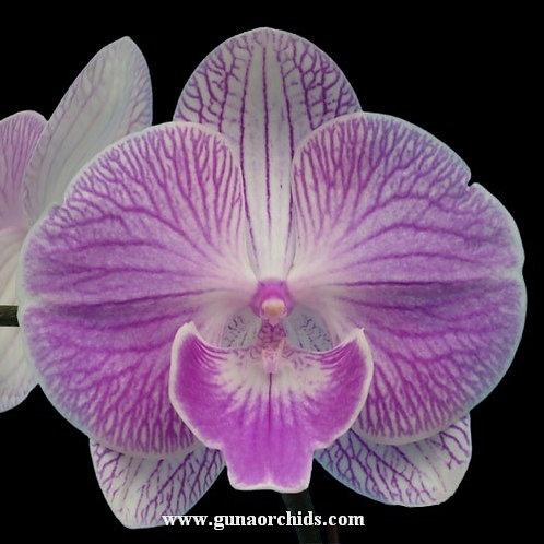 Phalaenopsis Fuller's X Plus BS