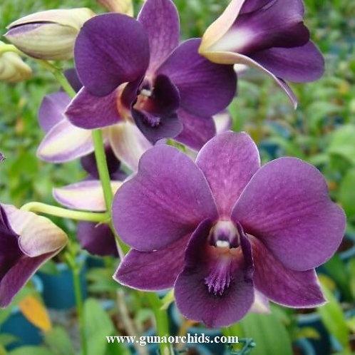 Dendrobium Trudy Brandt x Udom Blue Angel MS