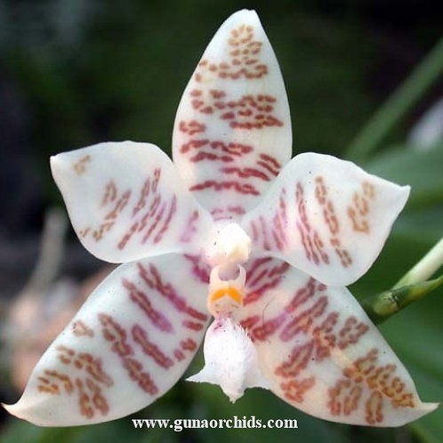 Phalaenopsis Hieroglyphica SS