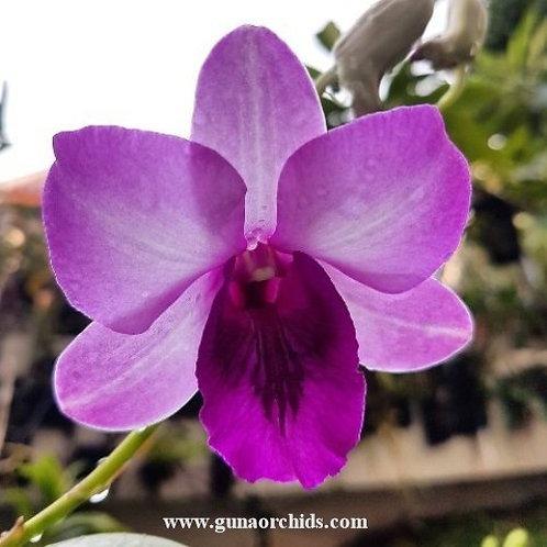 Dendrobium Mountain Blue MS