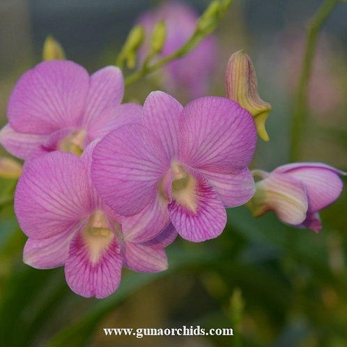 buy dendrobium pink stripe orchid online