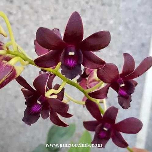 Dendrobium Lipstick MS