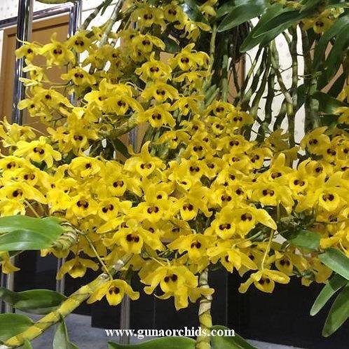 Dendrobium Friedericksianum BS