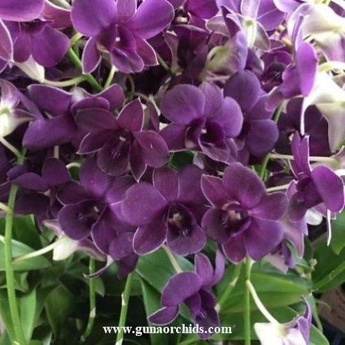 Dendrobium Waxy Blue MS