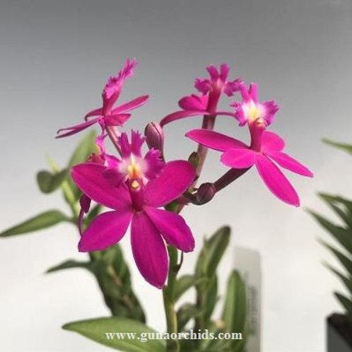 Epidendrum Pink BS