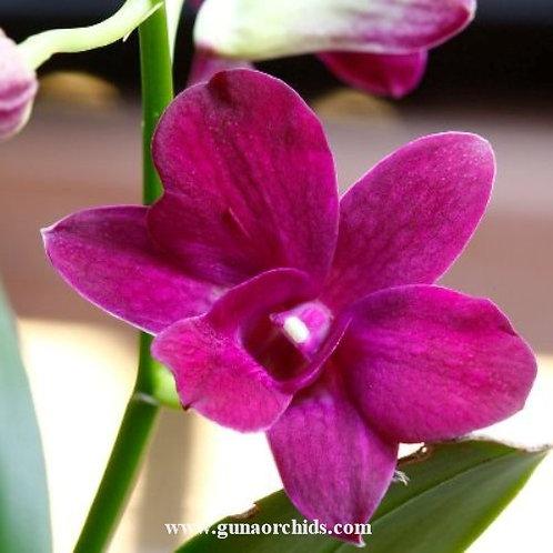 Dendrobium Fuchsia MS