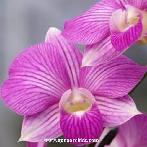Dendrobium Burana Stripe MS