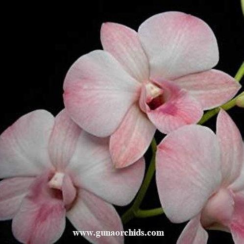 Dendrobium Haleahi Blush MS