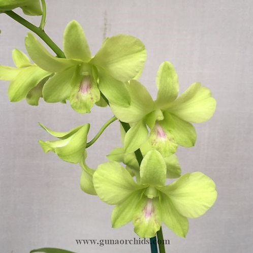 Dendrobium Aridang Green x Burana Jade MS