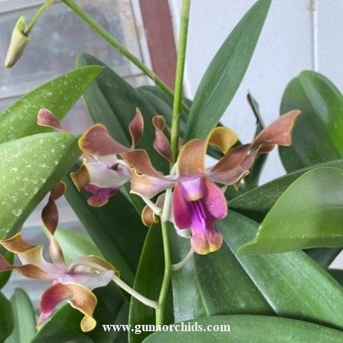 Dendrobium Antelope Minnie Tangerinum x Ronald Imanuel