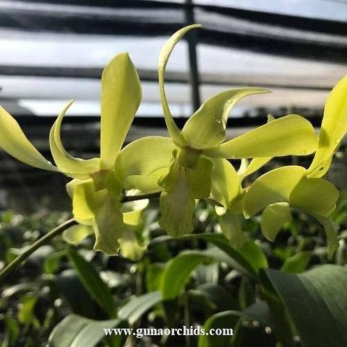 Dendrobium Belgium Yellow MS