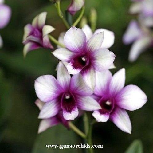 Dendrobium Raspherry delight MS